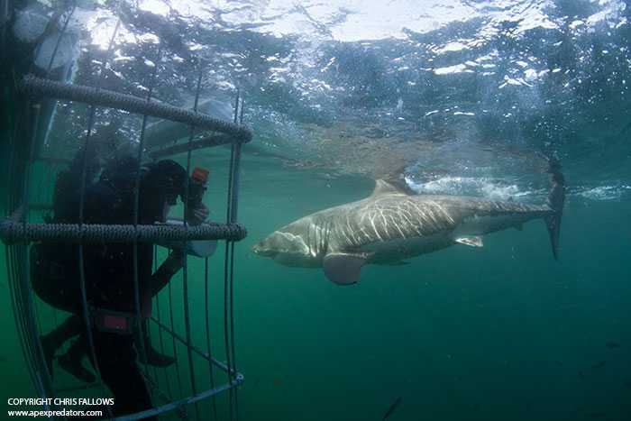 APEX-great-white-shark-cage-diving-seal-island-simons-town-south-africa