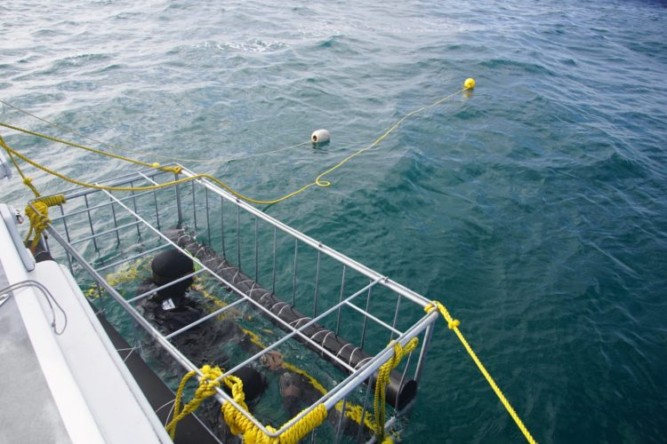 Great white shark cage diving South Africa Chris Fallows APEX adventure travel
