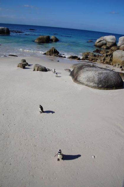 African-Penguins-Simon's-Town-Western-Cape-South-Africa