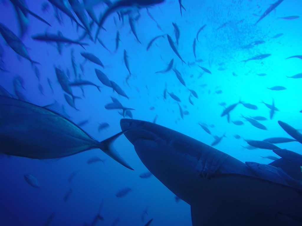 great-white-shark-cage-diving-australia