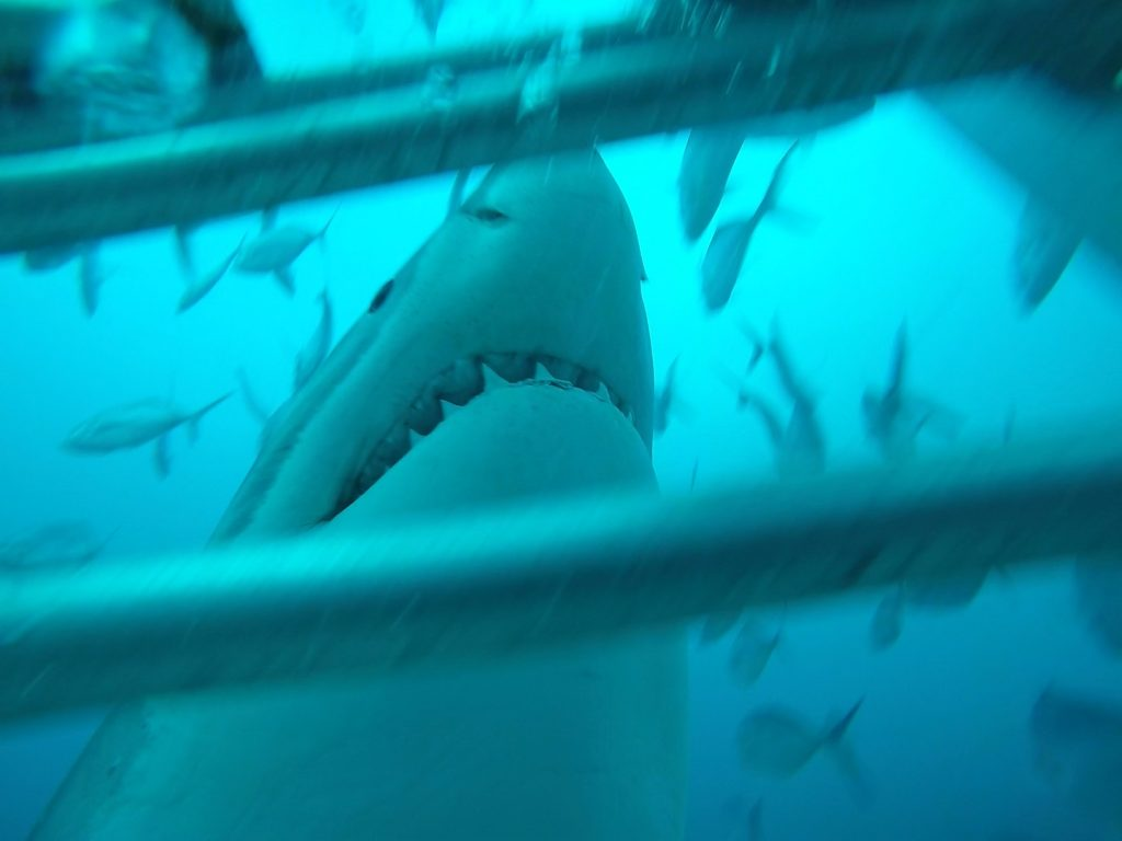 great-white-shark-cage-diving-Africa