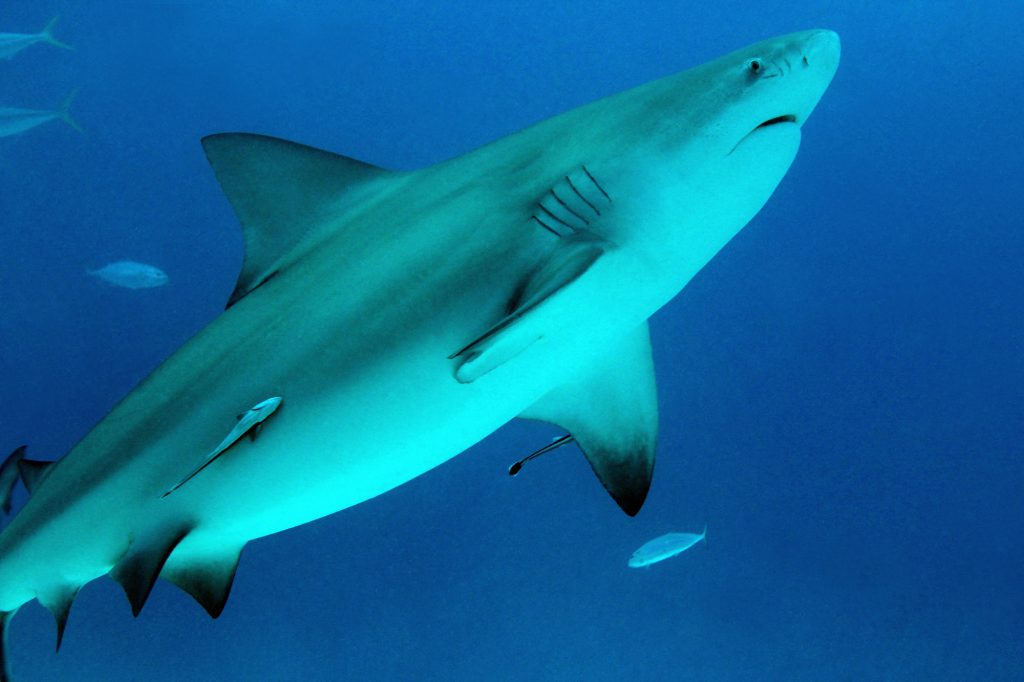 bull-shark-diving-Fiji