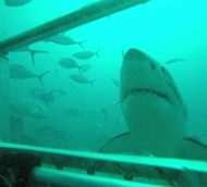 Great White Shark Cage Diving Photos from Australia