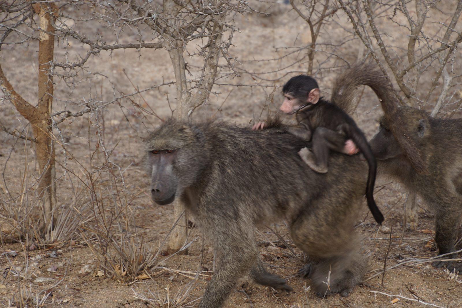 baboon-kruger-park-safari