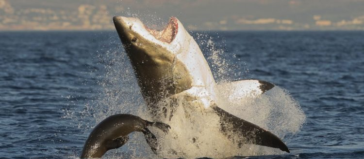 Great White Shark Cage Diving with Chris Fallows in South Africa